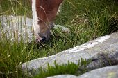 Equine Mouth With Grass Close Up. Horse Grazing On The Stony Slope Of La Rhune Mountain In The Fog. poster