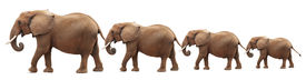 foto of congas  - Bull elephants in a conga line  - JPG