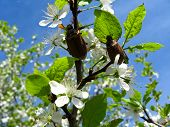 Chafers climbing on blossoming plum