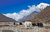 Herd of yaks grazing in the Himalaya