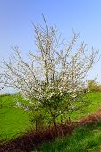 Young Plum Tree