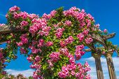 stock photo of climbing rose  - Climbing rose in a park in Australia - JPG
