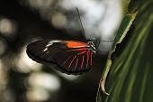 stock photo of dory  - A view of a Doris Longwing Butterfly Latin name Heliconius Doris - JPG