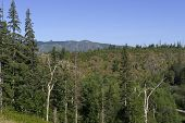 pic of sakhalin  - coniferous forest on the bank of the river in the mountains - JPG