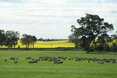 Sheep And Canola