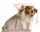 Bulldog Bride