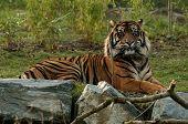 Tiger, Resting
