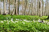 stock photo of birchwood  - The first spring flowers in a birchwood - JPG