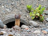 Long-tailed Weasel in a Drainpipe