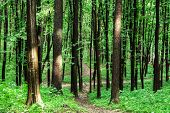 image of coniferous forest  - beautiful green forest - JPG