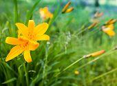 Hemerocallis Lilioasphodelus. Bright Yellow Lily Flowers In Summer Garden