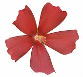 Red Grass Hibiscus Isolated