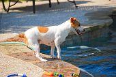 Jack Russell Terrier Poolside