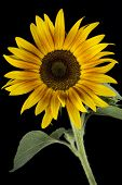 Blooming sunflower on black background