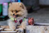 foto of pomeranian  - Puppy Pomeranian Garb  - JPG