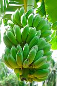pic of banana tree  - green banana hanging on a branch of a banana tree - JPG