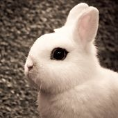foto of cony  - white dwarf hotot rabbit pose on grass background