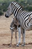 Baby Zebra And Mother