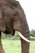 image of tusks  - Profile of an African elephant with white tusks - JPG