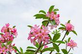 Panicle Of Pink Desert Rose