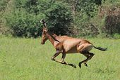 Red Hartebeest - Wildlife Background from Africa - Run of the Free