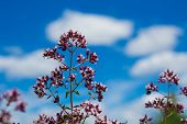 flower of a origanum on blue with clouds background blur