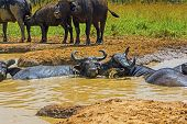stock photo of female buffalo  - Male and Female Cape Buffalo in a Water Hole in Uganda - JPG