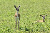 Springbok Baby Animals - Wildlife Background from Africa - Innocent Beauty