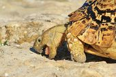 Tortoise - Wildlife Background from Africa - Chewing Salt