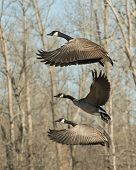 foto of geese flying  - A flock of flying Canada Geese on a cold winter day - JPG