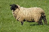 picture of suffolk sheep  - Suffolk Sheep is standing on the grass - JPG