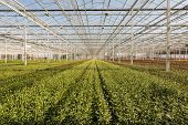 stock photo of chrysanthemum  - Budding Chrysanthemum plants in a Dutch Chrysanthemum flower nursery - JPG