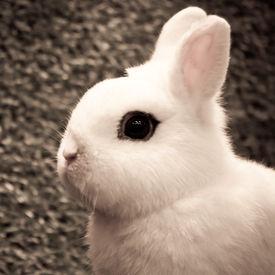 stock photo of dwarf rabbit  - white dwarf hotot rabbit pose on grass background  - JPG
