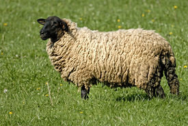 stock photo of suffolk sheep  - Suffolk Sheep is standing on the grass - JPG