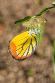 pic of cocoon  - Young butterfly leave out of the cocoon  - JPG
