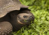 foto of endangered species  - Giant galapagos tortoise  - JPG