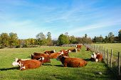 image of hereford  - Resting cattle in a swedish rural landscape - JPG