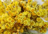 pic of bladder  - The dried flowers of helichrysum arenarium closeup - JPG