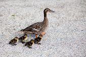 image of baby duck  - Mother Duck With Newborn Babies - JPG