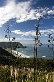View of Piha beach through flax bushes, west coast, North Island, New Zealand