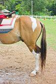Horse's Bottom In Farm