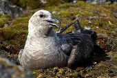 South Polar Skua Female Morph Light Which Sits On The Eggs On The Nest