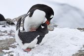 Male And Female Penguin Gentoo Before Mating Spring Day