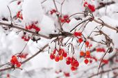 Rowan Berries In The Snow