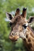 picture of zoo  - Portrait of a curious giraffe in a zoo