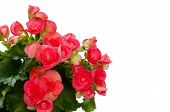 picture of begonias  - Red begonia flower isolated on white background - JPG