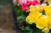 picture of begonias  - Close up of yellow begonia blossom in botanic garden - JPG
