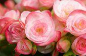 image of begonias  - Close up of pink begonia blossom in botanic garden - JPG
