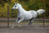 Young arabian horse stallion galloping