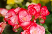 stock photo of begonias  - Close up of red begonia blossom in botanic garden - JPG
